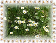 A Patch Of Daisys... (tigersmacks) Tags: flower nature garden outdoors woods daisy naturesfinest superbmasterpiece photostosmileabout beautfyintheyeofbeholder