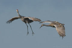 Sandhill Cranes (kgilbertsen) Tags: sandhillcranes sandhillcranejasperpulaskiindiana crane bird