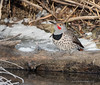Northern Flicker (Wild Bird Company) Tags: northernflicker colaptesauratus northernflickercolorado northernflickerboulder wildbirdboulder wildbirdcolorado wildbirdcompany formerwildbirdcenter birdseed birdwalk bouldercreekat75thst heatherwoodtrail bouldercountyopenspace gunbarrel kevinrutherford fernlakephotography