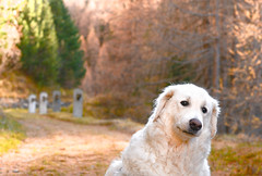 A bit worried because he had to leave our hiking buddies (balu51) Tags: wanderung herbst hund kuvasz ungarischerhirtenhund alteaverserstrasse avers graubünden oktober 2016 copyrightbybalu51