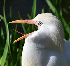 Gasp! (Little Laddie) Tags: white bird nature tongue cattle wildlife ibis egret naturesfinest bubulcus parkstock outstandingshots avianexcellence diamondclassphotographer flickrdiamond tribehorizon