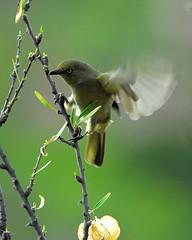 Sombre Greenbul (jeremyhughes) Tags: bird birds southafrica wings nikkor tc14eii naturesfinest nikond200 kleinkaroo 300mmf4d gamkaskloof diehel sombregreenbul andropadusimportunus avianexcellence