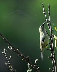 Olive Sunbird with spider web (jeremyhughes) Tags: bird birds southafrica spiderweb nikkor sunbird tc14eii nikond200 kleinkaroo 300mmf4d gamkaskloof diehel olivesunbird