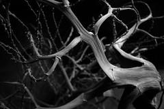 Dry bush (TonivS) Tags: blackwhite stem drybushwood