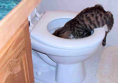 Cat drinking out of a toilet