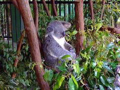 Australia Zoo, koala