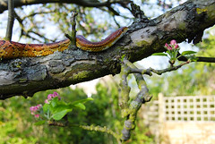 _DSC4873.a.small.jpg (Digital_Torment) Tags: wood blue red pet white tree green eye nature animal yellow climb pretty natural reptile snake gorgeous exploring climbing bark scales stunning investigation investigating sunsetcolours sunrisecolours