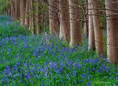 Gamlingay bluebells (. Andrew Dunn .) Tags: wood uk flowers blue trees england flower bluebells woodland landscape carpet spring woods britain trunk wildflowers cambridgeshire eastanglia bluebellwood ancientwoodland gamlingay interestingness48 i500 challengeyouwinner superaplus aplusphoto gamlingaywood