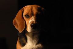 [フリー画像] 動物, 哺乳類, イヌ科, 犬・イヌ, ビーグル, 200807150500