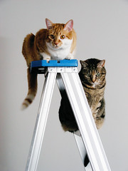 Cats still love ladders (Kevin Steele) Tags: toby orange cats cat orangecat tabby kitty kitties ladder xena olivetabby orangeandwhitecat