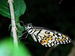 Multi coloured wings 2 (Sarah Gadd) Tags: wings multicoloured stratfordbutterflyfarmwarwickshirenikond80butterflies