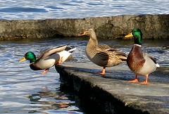 dopo tocca a me... (Cinzia A. Rizzo / fataetoile) Tags: ducks soe anatre naturesfinest olympussp320 abigfave colorphotoaward impressedbeauty superaplus aplusphoto fataetoile cinzirizzo theunforgettablepictures