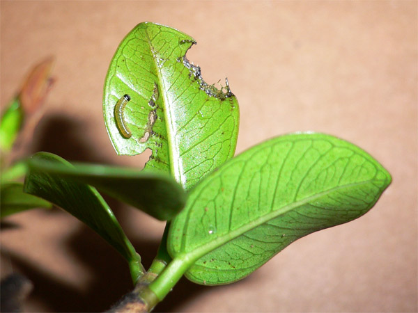 Caterpillar 端紫斑蝶初齡幼蟲
