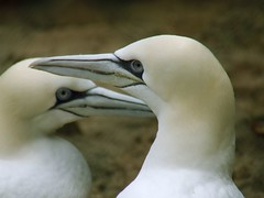 de jantjes/ it takes two (patries71) Tags: two bird couple arnhem finepix fujifilm burgerszoo vogel janvangent northerngannet blueribbonwinner parkstock s5600 featheryfriday specanimal patries71 diamondclassphotographer flickrdiamond citrit