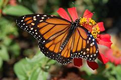 Butterfly ! (crenan) Tags: macro me butterfly d50 interesting nikon calendar natural photos natureza fast explore inseto borboleta santamaria score finest natures naturesfinest blueribbonwinner d80 scoremefast cmeradeourobrasil crenan grupo1a10brasil visofotogrfica carlosrenanpiressantos