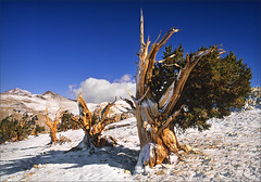 Bristlecone Pine Forest (walking along) Tags: california trees mountains forest bristleconepine velvia50 inyonationalforest treesubject