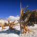 Bristlecone Pine Forest by walking along