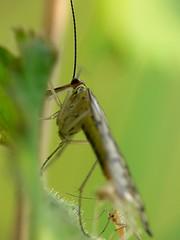 Draycote Meadow 29042007-101 (Walwyn) Tags: insect warwickshire mecoptera panorpa walwyn draycotemeadows