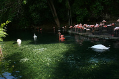 flamingoes and swans (para su gloria) Tags: water zoo swan flamenco flamingoe