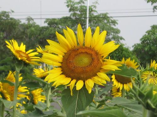 Sunflower stand up