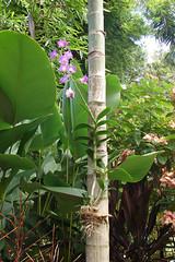Orchid growing on a palm (Tatters ❀) Tags: flowers orchid rainforest australia orchidaceae qld queensland dendrobium nativeplants sunnybank tropicalgarden dendrobiumphalaenopsis australianplants cooktownorchid australianrainforestplants qrfp vappodesphalaenopsis vappodes pinkarfflowers
