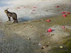Abandoned beauty (Lalallallala) Tags: italia italy campania stray cat camellia blossom gatto dropped dropout ground napoli naples vomero park