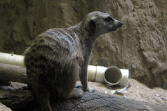 NYC - Prospect Park Zoo - Animals in Our Lives - Meerkat (wallyg) Tags: park nyc newyorkcity ny newyork brooklyn zoo meerkat prospectpark landmark gothamist animalplanet mongoose prospectparkzoo kingscounty wcs nationalregisterofhistoricplaces wildlifeconservationsociety nrhp usnationalregisterofhistoricplaces newyorkcitylandmarkspreservationcommission nyclpc sceniclandmark animalsinourlives