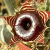 Huernia Zebrina ssp. Magniflora in Cactario Valencia (Paine-Chile) (LeonCalquin) Tags: chile paine huerniazebrina cactariovalencia leoncalquinphoto natureplantsflowers huerniazebrinasspmagniflora