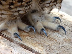 Owl talons (MShades) Tags: park bird feet japan kobe owl 日本 神戸 talons 兵庫 ポートアイランド spottedeagleowl buboafricanus 神戸花鳥園 kobekachoen