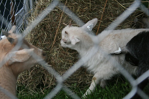Pygmy goats - damn cute.
