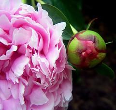 peonies (K e v i n) Tags: pink flower macro nature japanesegarden illinois bud carbondale peonies siuc siu southernillinoisuniversity