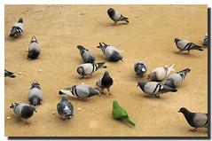 Gotcha! / ¡Te hemos pillado! (SantiMB.Photos) Tags: barcelona park parque españa verde green spain pigeons parrot catalonia catalunya palomas parc loro ciutadella naturesfinest supershot instantfave outstandingshots colorphotoaward isawyoufirst superbmasterpiece goldenphotographer wowiekazowie lmaoanimalphotoaward