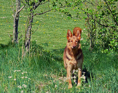 the.watchdog (moniiq) Tags: dog hond germanshepherd watchdog waakhond duitseherder