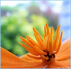 gentle wind of change (Mieke Vos Photographics) Tags: blue orange macro green colors garden bravo purple searchthebest californianpoppy supershot slaapmutsje abigfave impressedbeauty superhearts gentlewindofchange