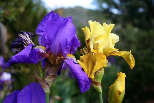 Iris Color Explosion