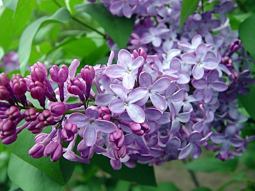 lilacs for Maribeth
