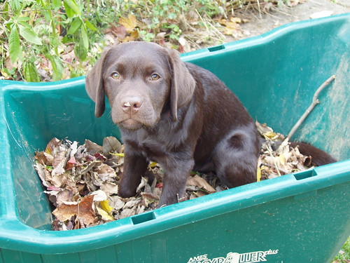 chocolate labrador retriever - Arthur