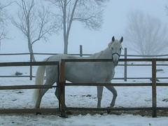 white horse in the fog (.::Danka::.) Tags: winter horse snow animal animals fog caballo nikon hungary coolpix llat magyarorszg hungra kd galope l calina nikoncoolpix3500 llatok tl attiladomb betterthangood fehrl misztikum
