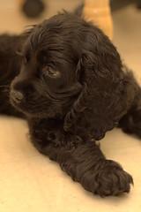 Cocker Spaniel Puppy (ZekaG) Tags: dog black cute animals dark puppy warm innocent cockerspaniel cudly