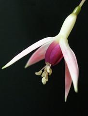 Fuchsia 1 - by tanakawho
