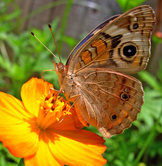 Common Buckeye Junonia coenia (sojourner photography) Tags: butterfly upcloseandpersonal inmygarden naturesfinest commonbuckeyejunoniacoenia