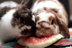 Summer time snack (Cindy {orange turtle photography}) Tags: cute rabbit bunny bunnies fruits eating adorable rabbits mellon watermellon lop