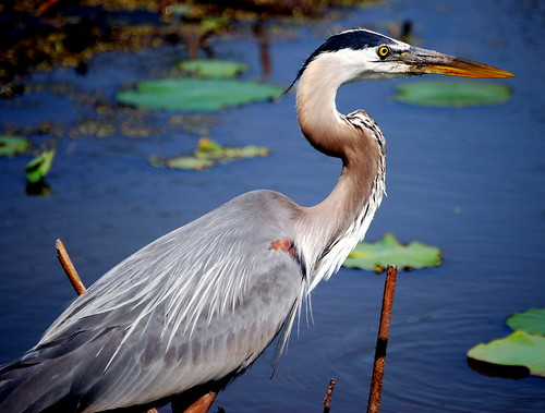 great blue heron at Kenilworth Aquatic Gardens