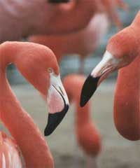 gay_flamingos