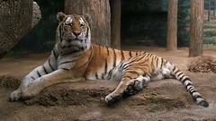 Lounging tiger