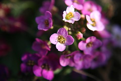 Allysum (~Dezz~) Tags: pink plants sunlight flower macro nature outdoors dof purple bokeh mygarden alyssum straightfromcamera supermacrolens canoneos400d canondigitalrebelxti