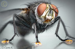 Mega Fly II (Cyrus khamak) Tags: red white macro reflection eye nature animal animals yellow closeup bug insect fly bravo searchthebest quality redeye cyrus peopleschoice fleshfly magicdonkey outstandingshots specanimal animalkingdomelite abigfave flickrplatinum specinsect diamondclassphotographer megashot bratanesque exemplaryshots roseawards