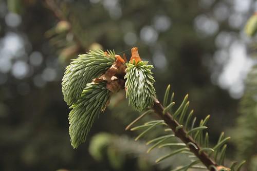Pine Leaves 2S