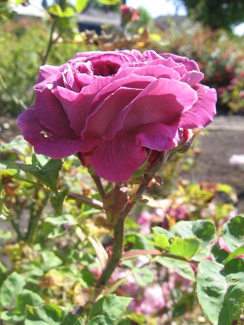 k-rose7
