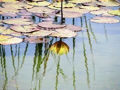 Reflections of my life ( Graa Vargas ) Tags: flower reflection waterlily explore nenfar interestingness20 i500 graavargas nymphaeacaerulea duetos lriodgua 2007graavargasallrightsreserved 160861010610